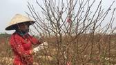 Thời tiết se se lạnh nên năm nay hoa đào ở miền Bắc rất đẹp, không bị nở sớm như năm ngoái. Ảnh: VĂN PHÚC
