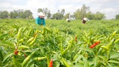 Nông sản Việt Nam xuất sang Trung Quốc gặp khó khăn