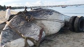 Con cá voi nặng trên 15 tấn trôi dạt vào bờ biển.