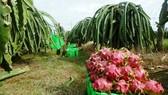 Với mức giá ổn định, người trồng thanh long ở Bình Thuận thu lời từ 40-50 triệu đồng/ha