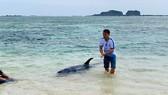 Con cá voi nặng trên 100kg không chịu bơi ra biển mà quay vào bờ nằm chờ chết