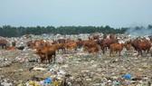 Cả trăm con bò được chăn thả trên bãi rác lớn nhất TP Phan Thiết.