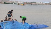 Cá voi nặng gần 10 tấn chết, trôi dạt trên vùng biển Bình Thuận