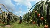 Từ nay cho đến cuối năm 2021, tỉnh Bình Thuận sẽ có khoảng gần 440 ngàn tấn thanh long cần được tiêu thụ.