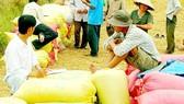 Traders buy rice in Mekong Delta (Photo: SGGP)