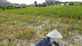 Drought seriously affected bulb formation of garlic plants leading to poor harvest. (Photo: SGGP)