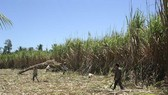 Sugarcane growing area is currently at around 300,000 hectares nationwide. (Photo: SGGP)