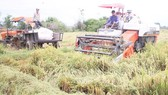 Rice harvest after flooding in Quang Tri province