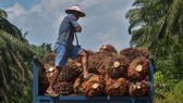 A farmer harvests palm oil in Indonesia's Riau province (Photo: AFP)