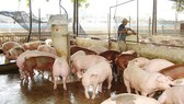 Pig price sharply falls in country's largest pig farming province