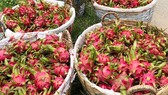 Long An exports 50 tons of dragon fruit by sea a day