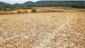 A drought hit rice field in Binh Dinh Province (Photo: SGGP)