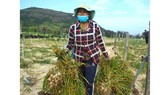 Garlic farmers on Ly Son Island wish to protect their specialty against fake products