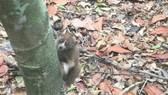 Cá thể cu li được thả về rừng tự nhiên