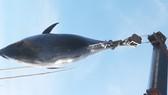 Ngư dân Phú Yên câu được cá ngừ vây xanh nặng 240kg