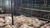 Hàng ngàn con heo đang nằm li bì vì dính thuốc an thần