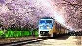 Sắc hoa anh đào lãng mạn tại nhà ga Gyeonghwa