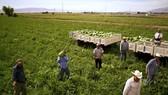 Chính phủ Mỹ vừa quyết định hỗ trợ 12 tỷ USD cho nông dân chịu ảnh hưởng  từ các biện pháp trả đũa của các đối tác nước ngoài