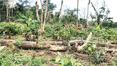 Một khu rừng ở Bờ Biển Ngà bị chặt phá để trồng ca cao