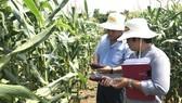 Việt Nam đã trồng được giống bắp Nữ hoàng đỏ  của nước ngoài