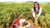 Người Inca thu hoạch hoa màu ở Peru