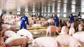 Cuối năm 2020, nguồn cung thịt heo trong nước sẽ dồi dào hơn