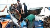 Vận chuyển cá ngừ đại dương tại Phú Yên. Ảnh: TTXVN