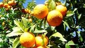 Chiết xuất cam thành điện