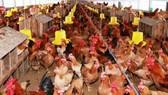 Người dân nhiều quận huyện ở Hà Nội sẽ không được nuôi gia súc, gia cầm