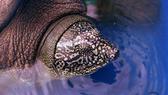Phát hiện cá thể rùa cái Hoàn Kiếm quý hiếm ở hồ Đồng Mô