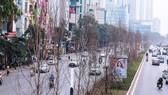 Vì sao hàng cây phong lá đỏ ở Hà Nội bị thay thế?