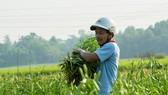 Người làm vườn phấn khởi thu hoạch mùa hoa loa kèn được mùa, giá cao