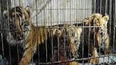 Săn bắt, giết, nuôi, nhốt động vật rừng trái pháp sẽ bị phạt tới 400 triệu đồng