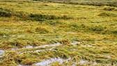 Lúa đông xuân chưa gặt xong đã cầu cứu Trung ương hỗ trợ vụ hè thu