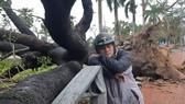Cây xà cừ được đánh số 13 trước mặt bến xe du lịch Nguyễn Hoàng bị bão số 13 đánh bật gốc vào sáng 15-11