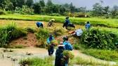 Bộ đội Biên phòng Thừa Thiên - Huế giúp đồng bào A Lưới thu hoạch lúa để hạn chế thấp nhất thiệt hại khi bão số 5 đổ bộ. 