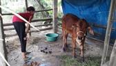 Người dân lo lắng khi bò mới tiếp nhận đã đổ bệnh