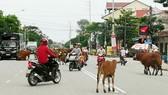 Bò thả rông  trên quốc lộ gây nguy cơ xảy ra tai nạn giao thông cao