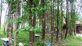 Cây dó bầu mang lại thu nhập cho người dân ở xã Phúc Trạch, huyện Hương Khê, tỉnh Hà Tĩnh