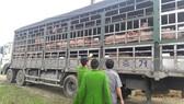 Số heo được vận chuyển trên xe tải bị bắt giữ