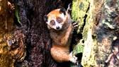 Cá thể cu li nhỏ được thả về môi trường rừng tự nhiên