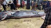 Cá voi được đưa lên bờ