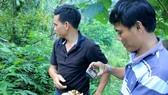Cán bộ Phòng nông nghiệp huyện Trà Bồng (bên phải) đang nghiên cứu loại sâm 7 lá tại vườn ông Tạo