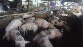 Bà Rịa - Vũng Tàu: Ô nhiễm từ chăn nuôi heo làm nóng nghị trường