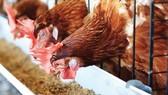 Trang trại nuôi gà ta thảo mộc của San Hà        Ảnh: VIÊN VIÊN