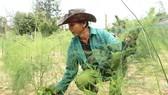 Măng tây xanh, loại rau sạch cao cấp hiện rất khan hiếm trên hiện trường