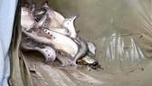 Triển khai mô hình nuôi cá thát lát cườm