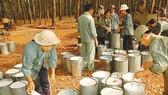 Thu hoạch mủ cao su tại Bình Phước. Ảnh: T.L