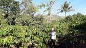 Đời sống người dân xã Đắk Ui đổi thay nhờ chuyển đổi cơ cấu cây trồng