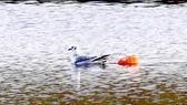 Rác thải nhựa mềm đe dọa sự sống các loài chim biển